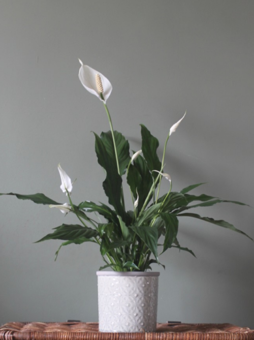 Peace Lily and Pot