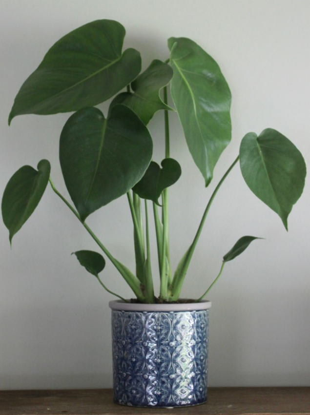 Monstera Plant and Pot